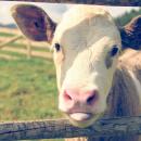 Food for ruminants